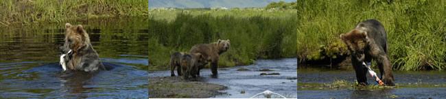 bear in stream